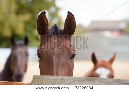 A thoroughbred horse on farm closeup view