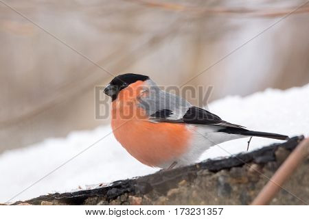 The photograph depicts bullfinch on the branch