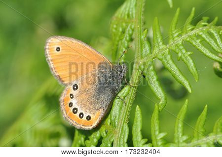 Russian Heath butterfly, Coenonympha leander in natural habitat