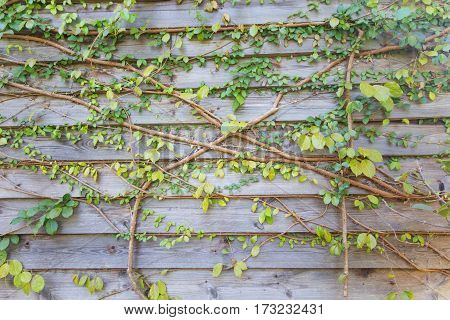the Green leave wooden wall for background