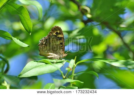 Speckled Wood butterfly,  Pararge aegeria. Butterfly is mostly common on the edge of the forest