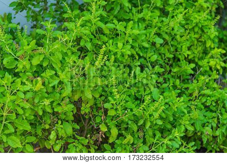 Holy basil in garden, Nontoxic , For cooking