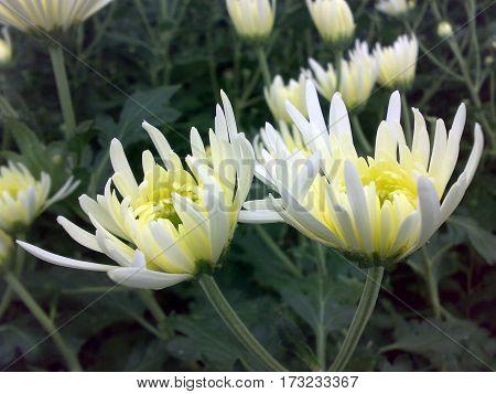 beautiful white chrysanthemum flowers are blooming in the garden