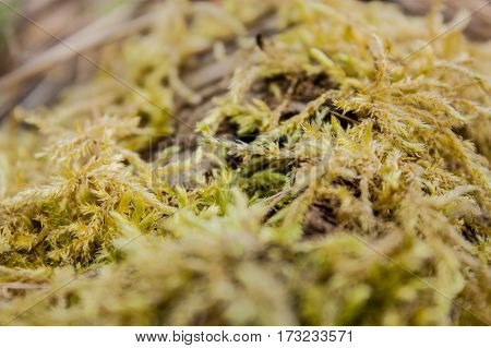 Green moss on the dry branches of trees in early spring