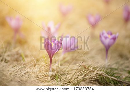 Beautiful violet crocuses flower growing on the dry grass, the first sign of spring. Seasonal easter sunny background.