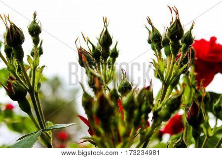 rosebuds, many buds, rose buds on white background, unblown flowers, fresh flowers