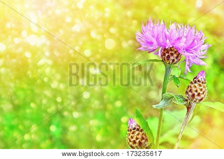 Bright and colorful flowers cornflowers on background summer landscape.