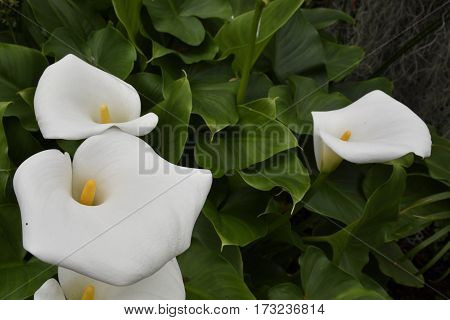 Calla lily (Zantedeschia) or Arum lily bloom picture from Tenerife Spain.