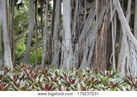 Old big Ficus macrophylla in botanical garden in Puerto de la Cruz Tenerife Spain.
