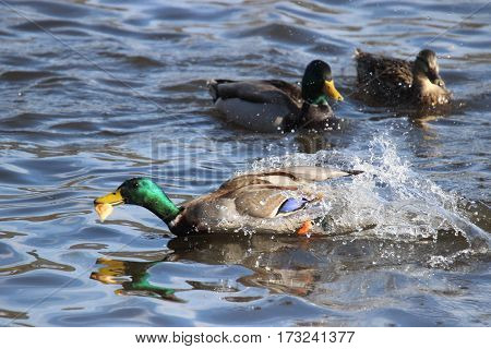 A duck with a piece of bread in his beak speeds away from the other ducks.