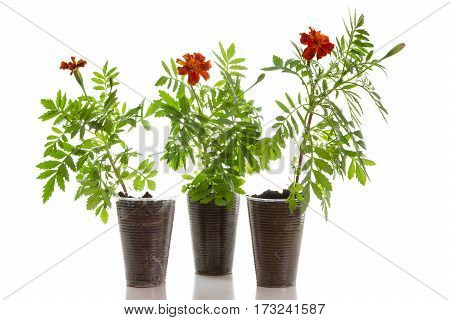 Seedlings of orange marigolds in plastic cups on a white background.