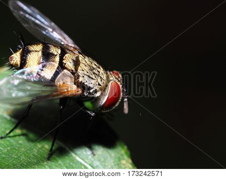 Fly on green leaf isolated with black background, red eyes animal, clear wing, Insect macro or closeup
