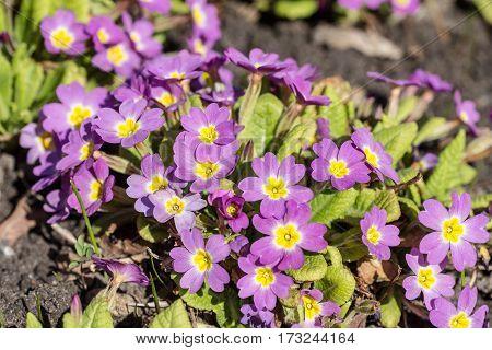 purple primrose in a spring garden closeup