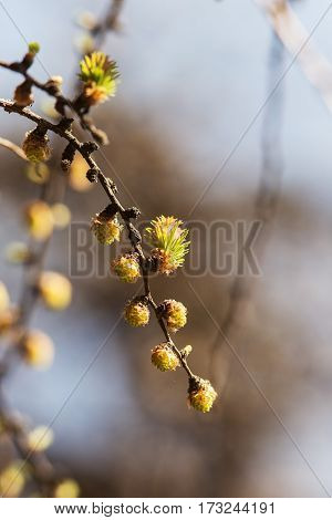 larch branch with buds in spring day