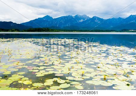 Flowers of water lilies in a mountain lake