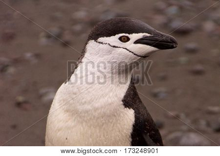 Chinstrap penguin on Aitcho Islands in Antarctica
