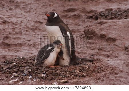 Gentoo penguin family on Cuverville Island in Antarctica