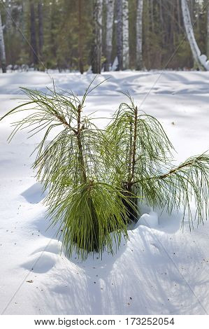 Siberian cedar pine or Siberian cedar (lat. Pinus sibirica). The young trees in the forest in winter