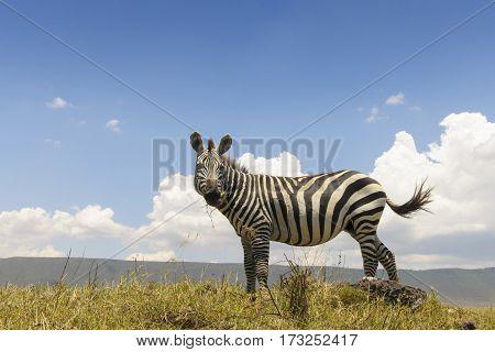 Plains Zebra (Equus quagga) from below with blue sky behind Ngorongoro crater Tanzania.