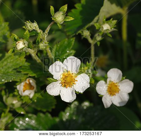 Garden Strawberry Flower After Rain