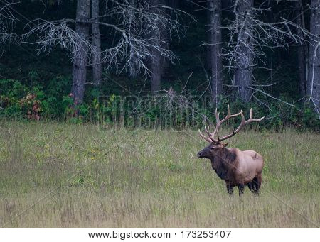 Bull Elk in Field with Copy Space Left over grass