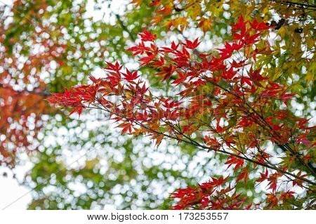 Yellow And Red Japanese Maple Leaves During Autumn In Kyoto, Japan