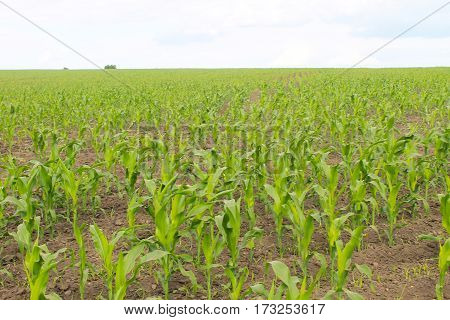 Young corn plants growing on the field