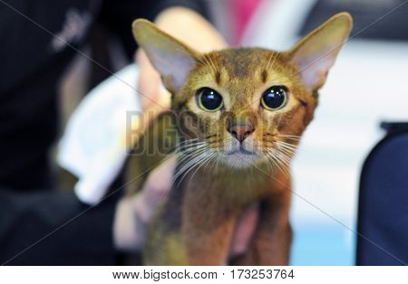 Abyssinian cat at cat show in Moscow