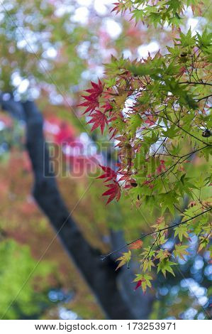 Green And Red Japanese Maple Leaves During Autumn In Kyoto, Japan