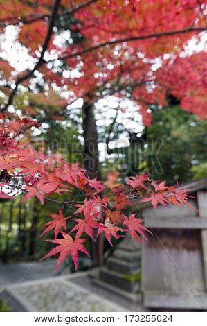 Red Japanese Maple Leaves During Autumn In Kyoto, Japan