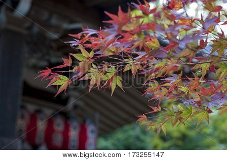 Yellow And Red Maple Leaves During Autumn In Kyoto, Japan