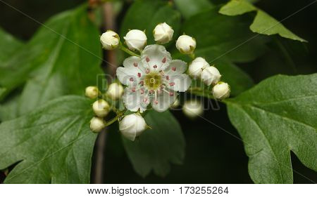 First Flower Of Whitethorn