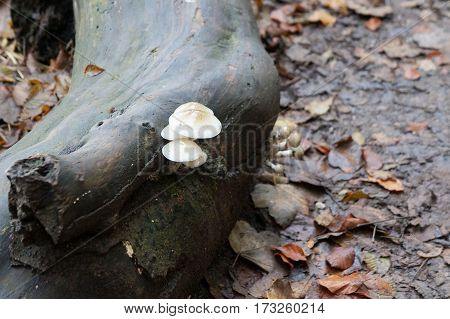 Birch fungus in the wet autumnal forest
