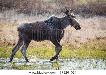 A young bull moose is looking for food in a small pond.
