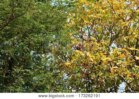 Fresh green leaves on tree and yellow leaves on another tree