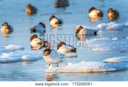 Canvasback duck standing on a small iceberg in the Chesapeake bay in Maryland with other Canvasbacks sleeping