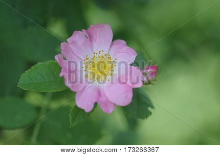 The Rosa Rugosa or Deep pink rose