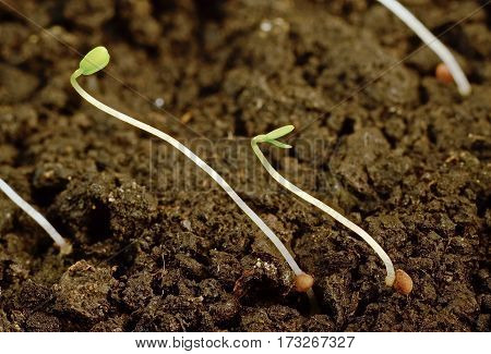 two small sprig of strawberry seedlings from seed in the garden in the earth closeup