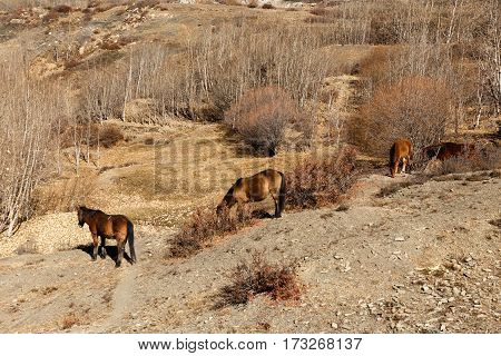 horses grazing on the of a mountain Himalayas