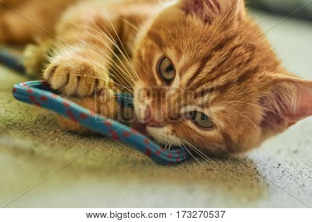little red-headed cat playing with rope on the bed