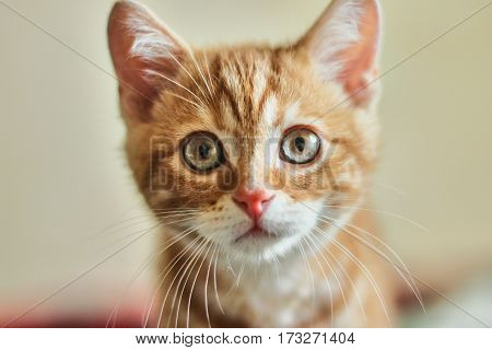 clouse up portrait of young red-haired cat