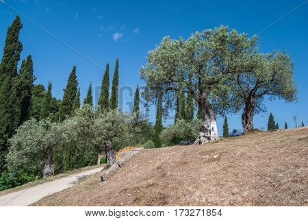 Old olive trees on dry hillside with deep blue sky and cypress trees in the background