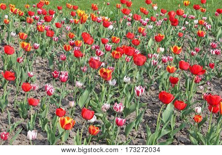 Beautiful red and pink tulips in the spring garden
