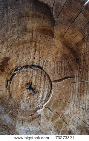 Annual rings of an old tree in a cut
