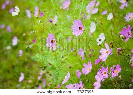 Colorful Nature floral background of blooming flowers cosmos in Summer. Beautiful Horizontal Wallpaper with selective focus.