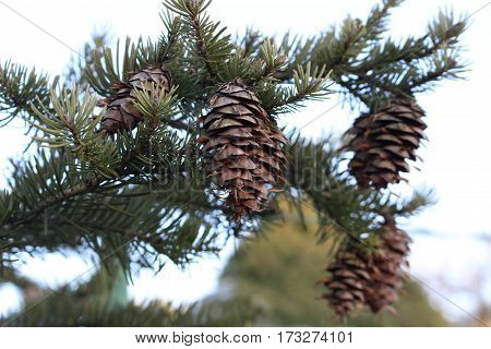 Black spruce - cones / These are cones on black spruce branch.