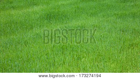 Beautiful Background with fresh green growing grass. Wide Horizontal Wallpaper With Copy Space