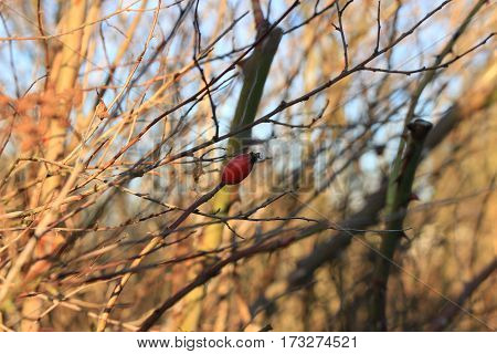 Last rose hip in winter/ Lonely rose hip in the middle mild winter.