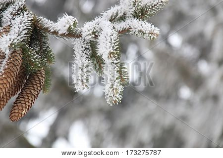 Winter Christmas holiday background with copy space, fir branch and pine cones with hoar frost on cold morning.