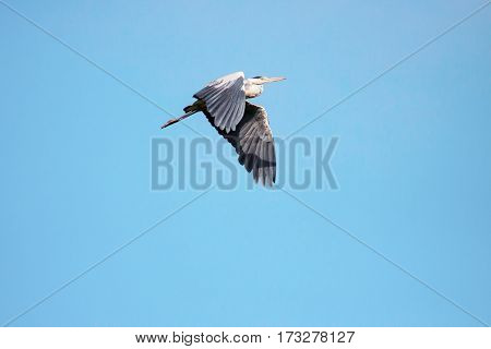 Adult heron in flight. Flying Great Grey Heron (ardea cinerea).